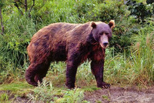 Brown bears are among the largest and most widespread taiga.